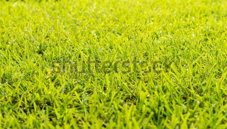Prato rugiada gocce erba verde fresche mattina Foto d'archivio © THP