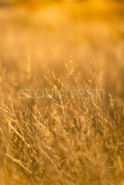 Grass Soft Focus Stock photo © THP