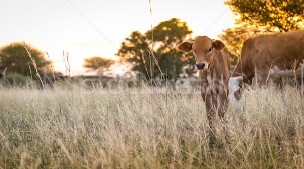 Tehén fiatal mezők Botswana Afrika étel Stock fotó © THP