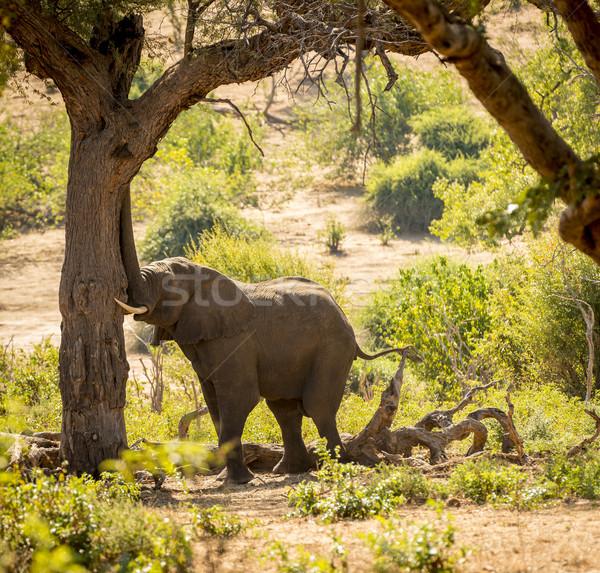 Elefante africa parco Botswana albero animale Foto d'archivio © THP