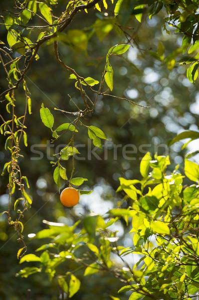 érett narancsfa narancs akasztás fa napfény Stock fotó © THP