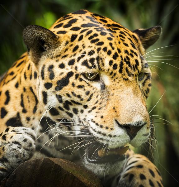 Jaguar Cat Growling Stock photo © THP