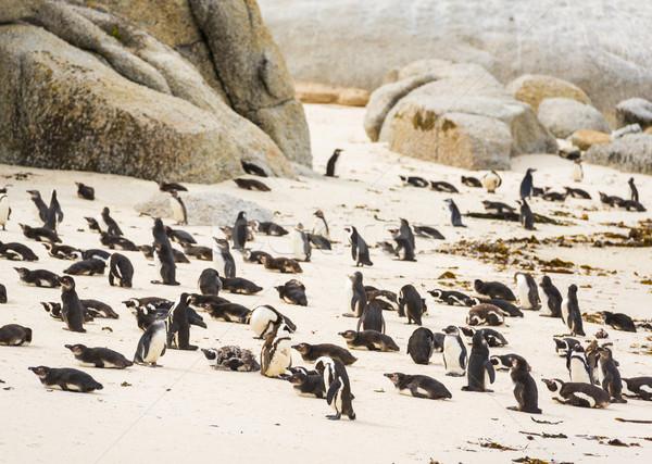 пингвин колония африканских Сток-фото © THP