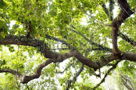 Thick Jungle Stock photo © THP