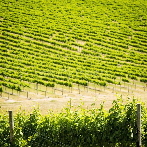 Uva vines rico vibrante verde fora Foto stock © THP