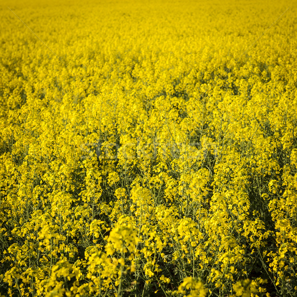 Stock photo: Canola Flower