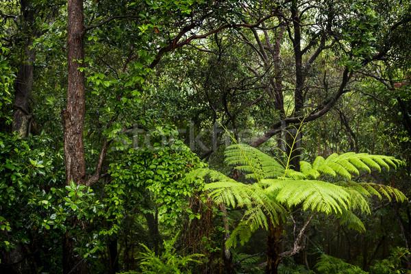 Foresta pluviale panorama felci alberi umido pioggia Foto d'archivio © THP