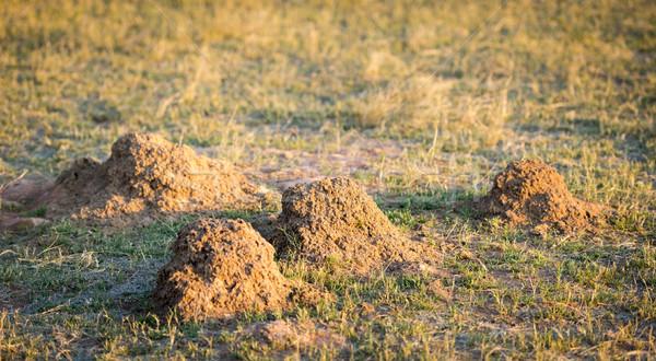 アリ 丘 フィールド ボツワナ アフリカ ツリー ストックフォト © THP