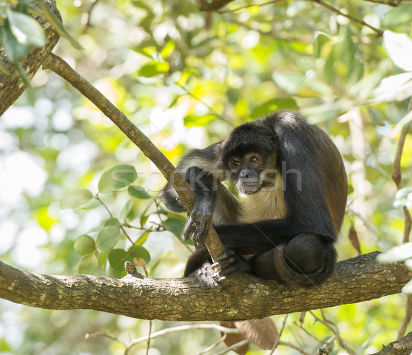 Yucatan Spider Monkey Stock photo © THP