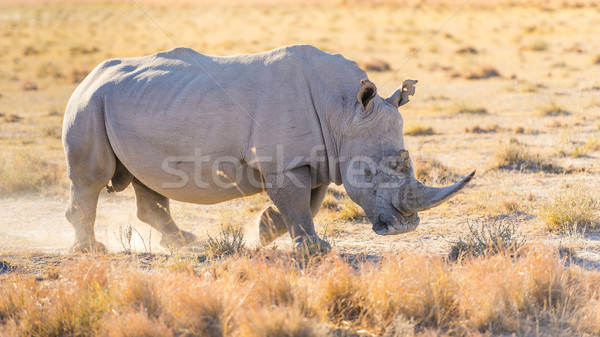 White Rhino Stock photo © THP