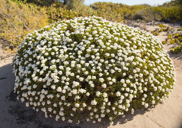 Sand Dune Plants Stock photo © THP