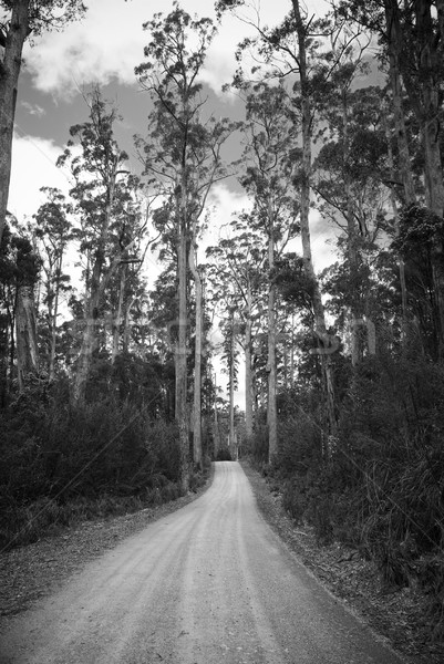 Forest Road Stock photo © THP