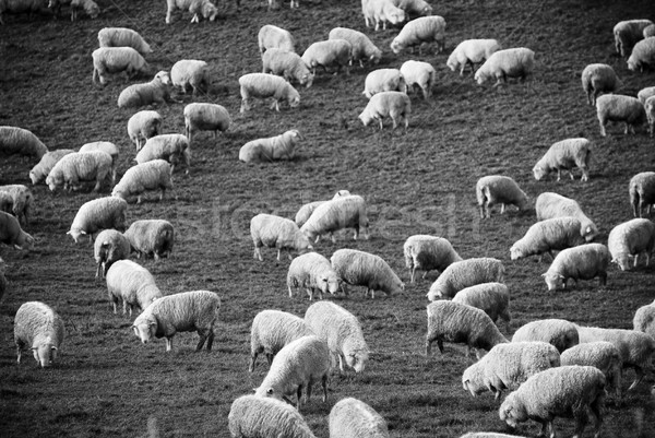 Stock photo: Sheep