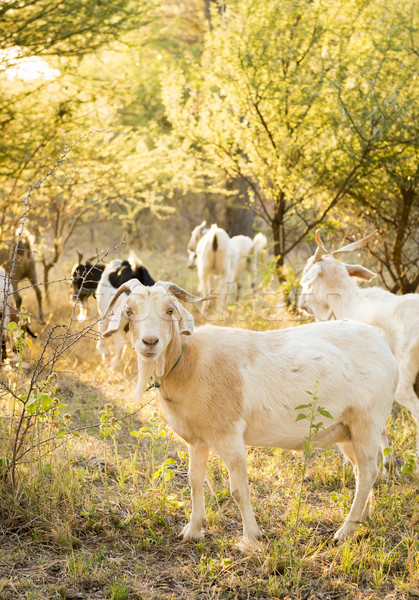 Goats Stock photo © THP