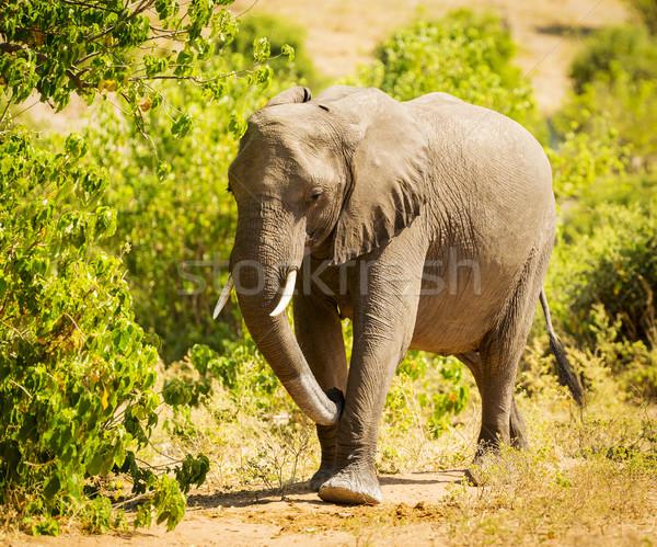 Adult Elephant Portrait Stock photo © THP