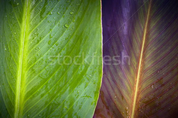 Two Leaves Stock photo © THP