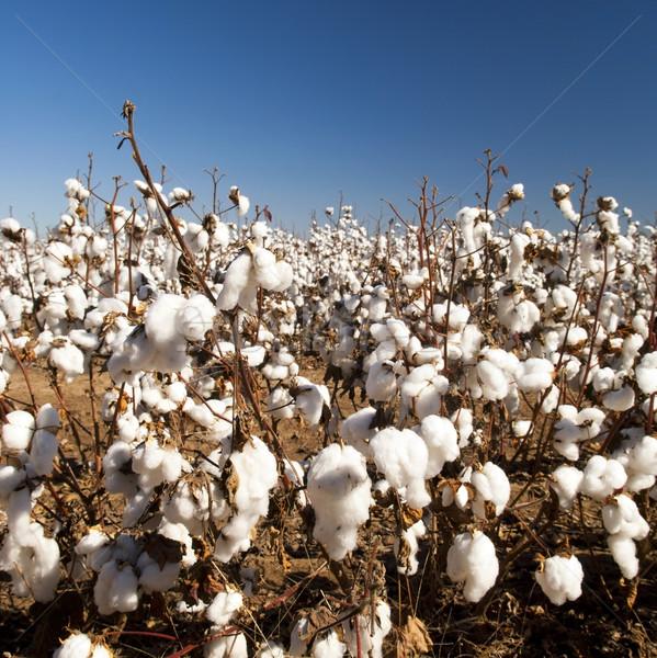Cotton Fields Stock photo © THP