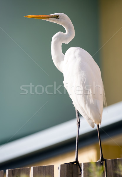 Great Egret Stock photo © THP
