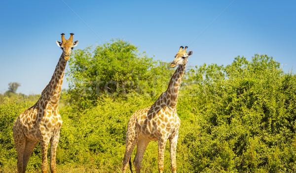 Zsiráfok Afrika pár vad park Botswana Stock fotó © THP