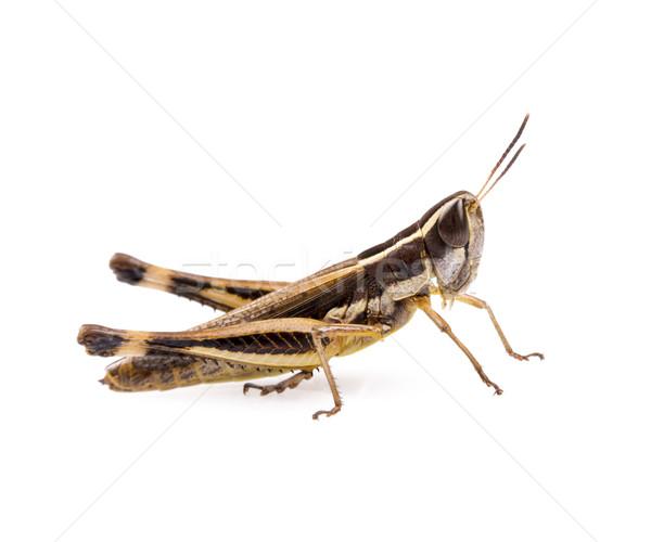 ストックフォト: グラスホッパー · 昆虫 · 孤立した · 白 · 草 · 緑