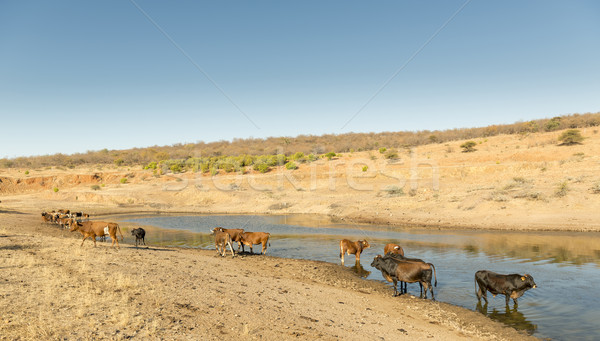Cattle in Africa Stock photo © THP