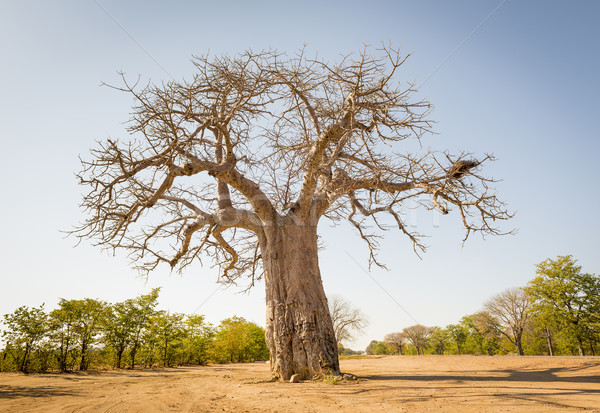 Baobab Tree Stock photo © THP