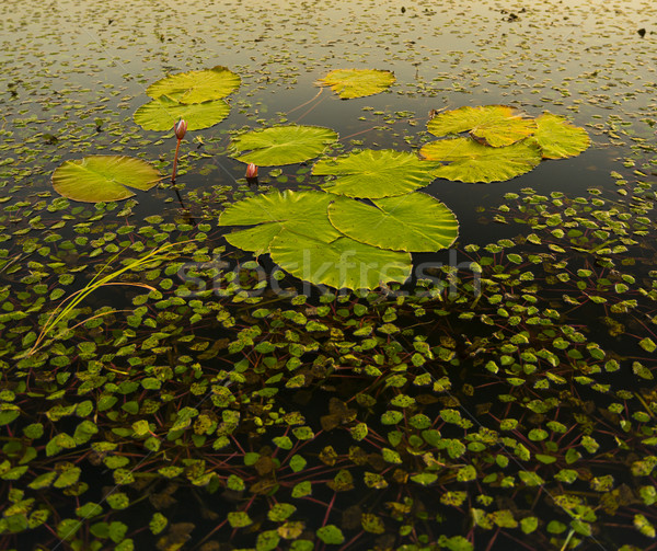 Lily Pads Stock photo © THP