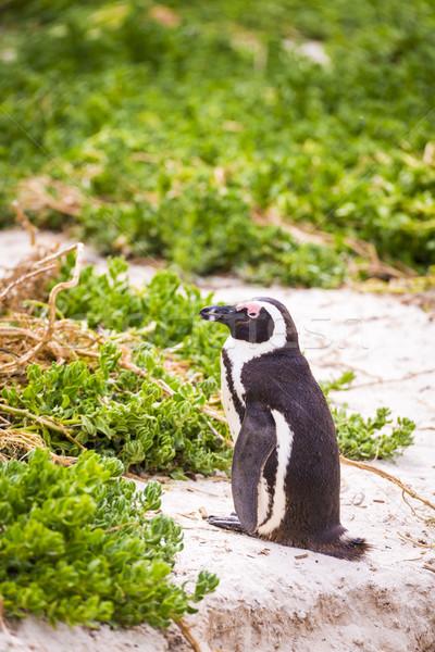 African Penguin Stock photo © THP