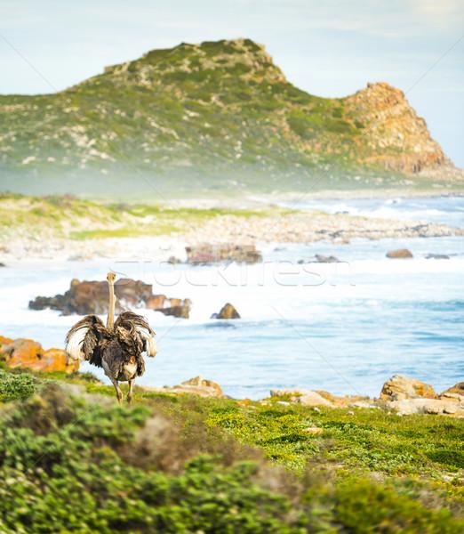 ダチョウ 良い 希望 半島 南アフリカ 草 ストックフォト © THP