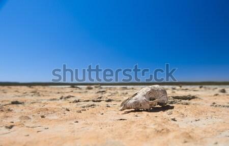 Skull in Desert Stock photo © THP