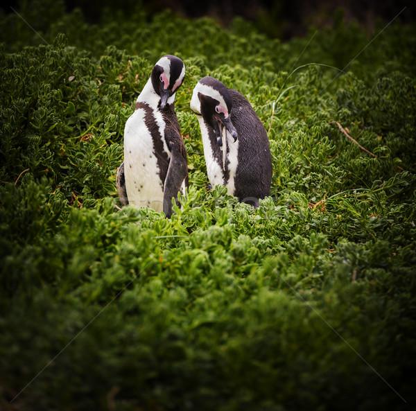 African Penguin Couple Stock photo © THP