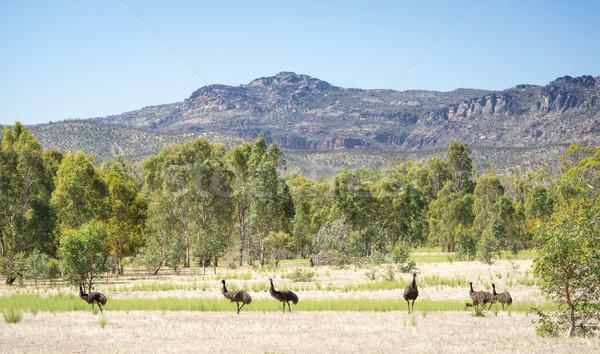 Emu Stock photo © THP