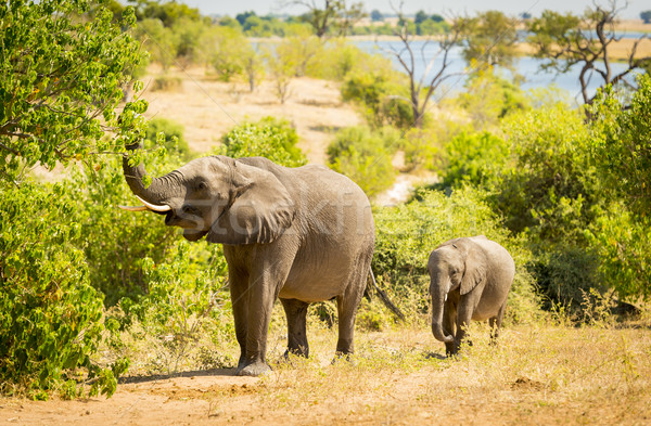 Baby Elephant in Africa Stock photo © THP