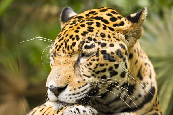Jaguar кошки красивой глазах Сток-фото © THP