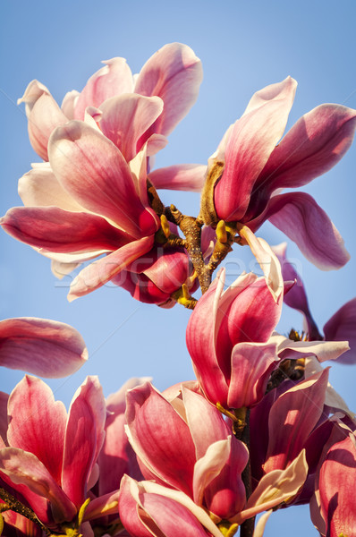 Magnolia Stock photo © THP
