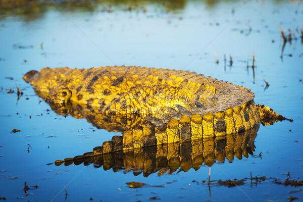 Aligator rzeki parku Botswana Afryki wody Zdjęcia stock © THP