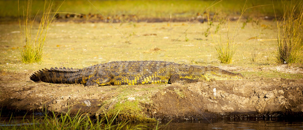 Alligator On River Bank Stock photo © THP
