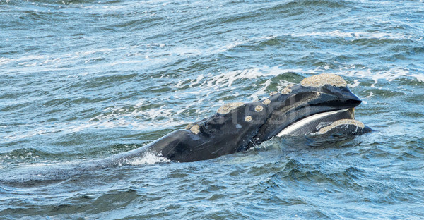 Baleen Whale Surfaces Stock photo © THP