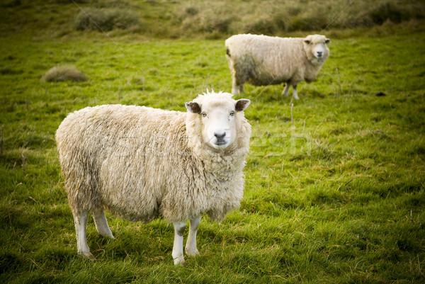 Sheep Stock photo © THP