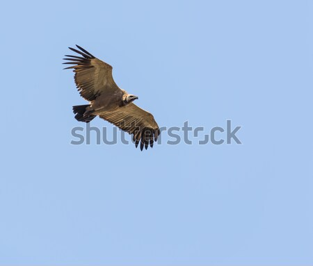 Dögkeselyű repülés kék ég Afrika madarak Stock fotó © THP