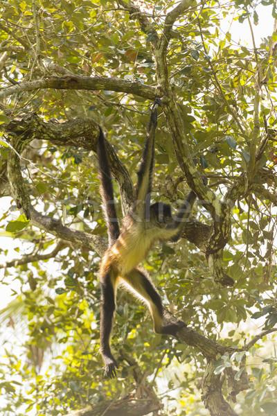 Pók majom ág faág erdő Stock fotó © THP