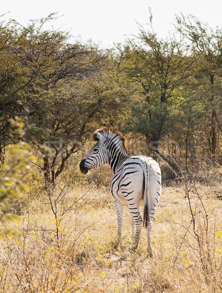 Zebra In Botswana Stock photo © THP
