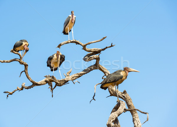 аистов птиц мертвых деревьев Blue Sky Ботсвана Африка Сток-фото © THP
