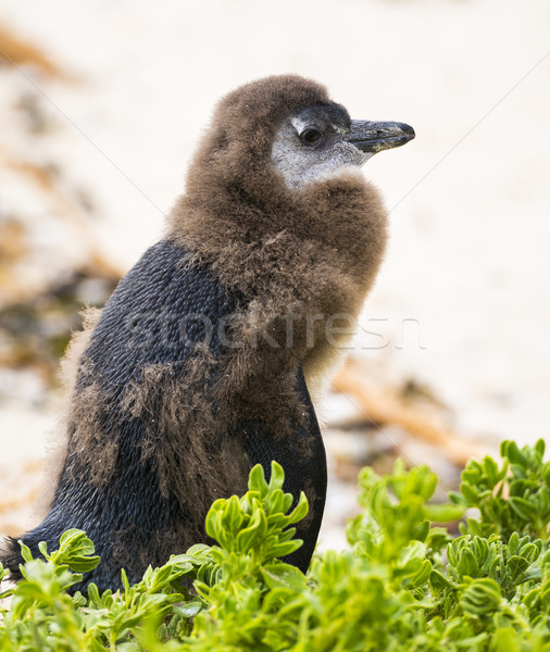 Juvenil africano pinguim praia África do Sul Foto stock © THP