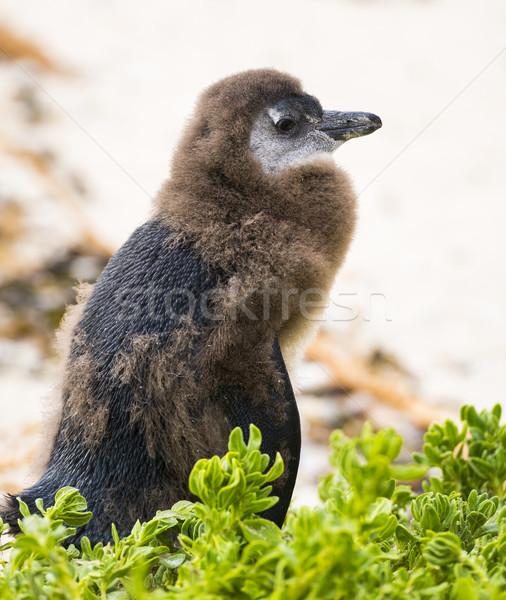 Jeugdig afrikaanse pinguin strand South Africa Stockfoto © THP