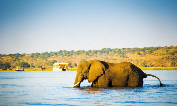 Elephant Wading Across Chobe River Botswana Stock photo © THP
