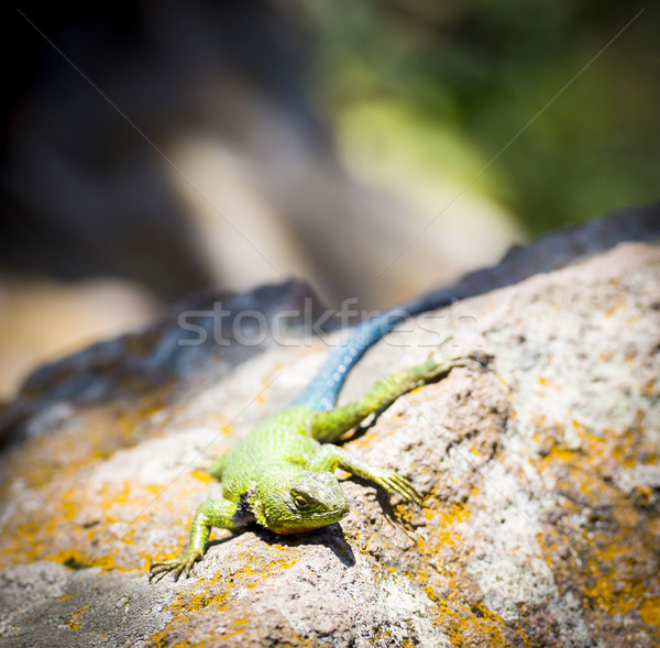 Emerald Swift Lizard Stock photo © THP