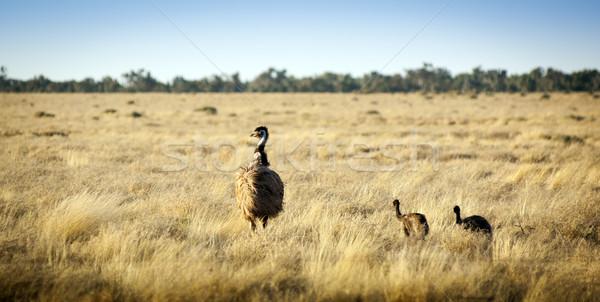 Emu Chicks Stock photo © THP