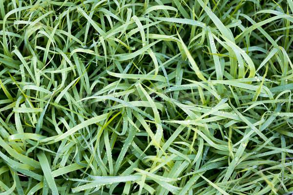 морозный трава пышный зеленая трава мелкий Focus Сток-фото © THP