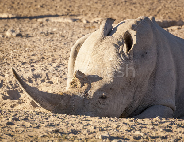 White Rhino Africa Stock photo © THP